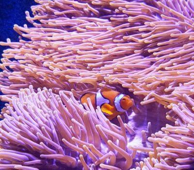 Clownfish-1-min