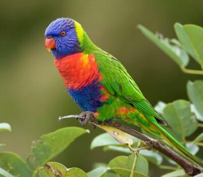Rainbow-Lorikeet-Pictures-min