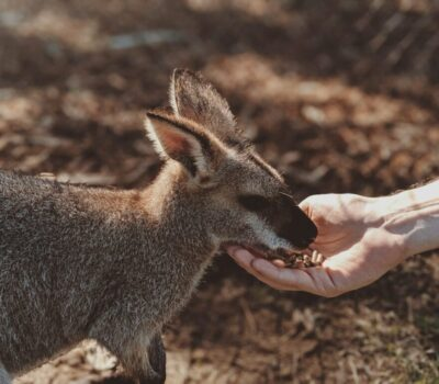 photo-of-gray-wallaby-2619707-1-scaled-min